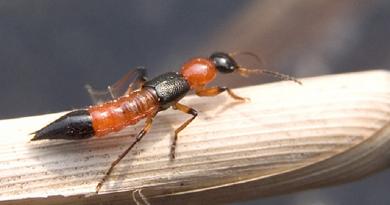 Độc tính của kiến ba khoang